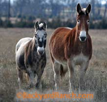 Mules come in different sizes and colors.
